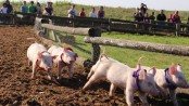pig races cover