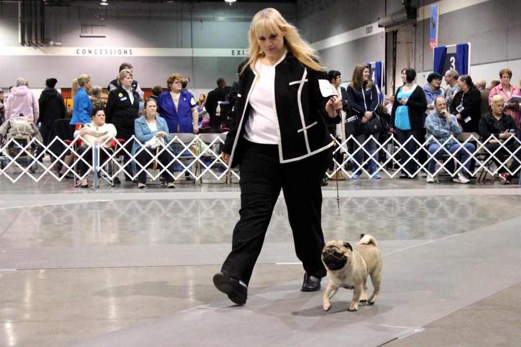 dog show pug 2