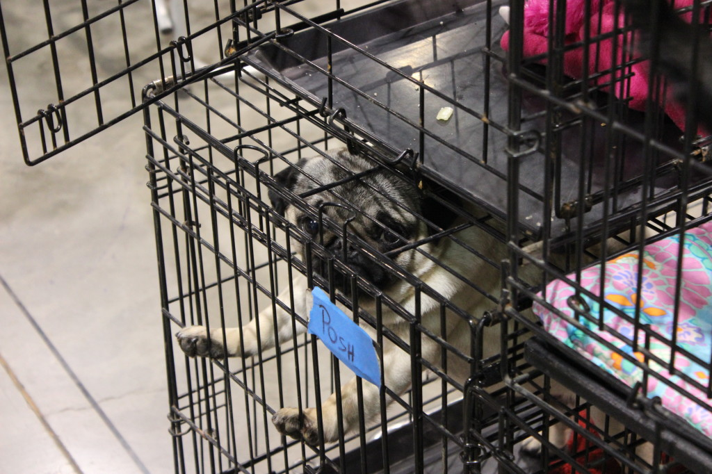 dog show pug cage
