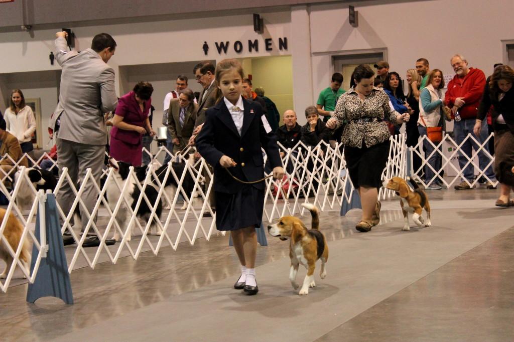 dog show beagle 2