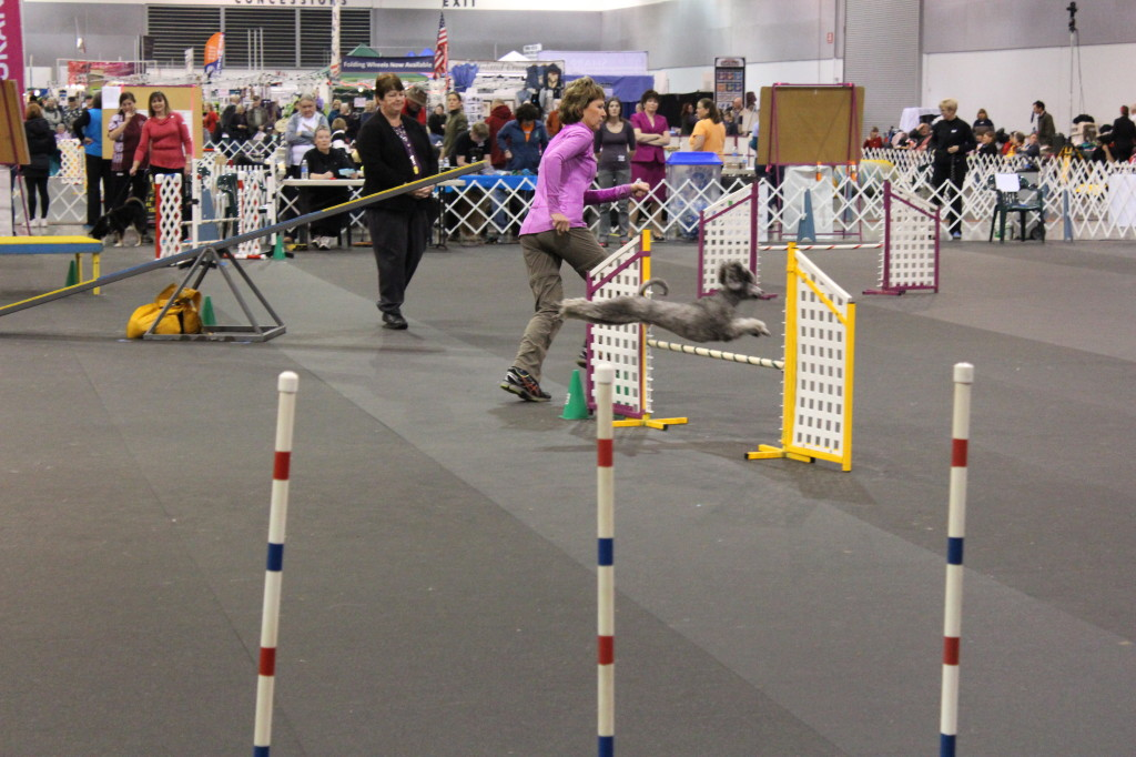 dog show agility 3