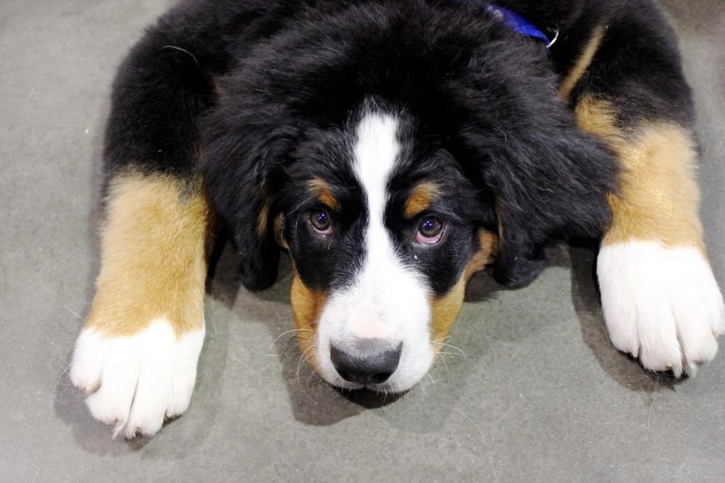 dog show puppy