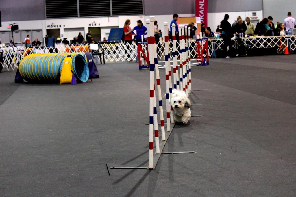 dog show agility 5