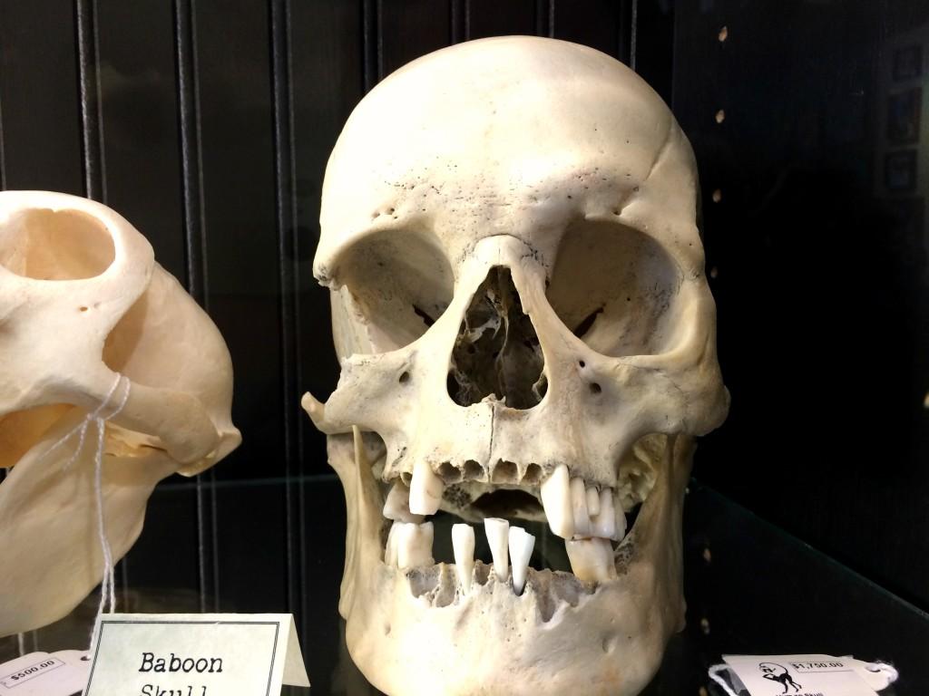 Paxton Gate Skull