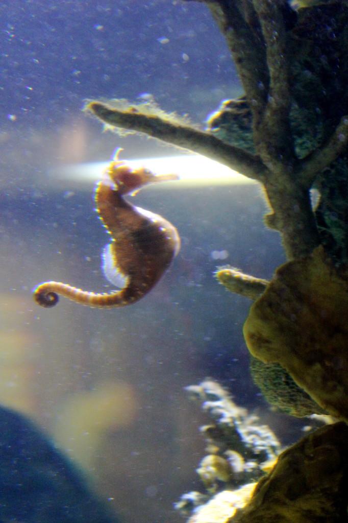 oregon coast aquarium seahorse