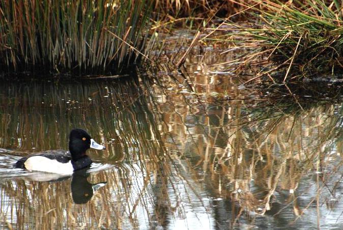Ridge field duck