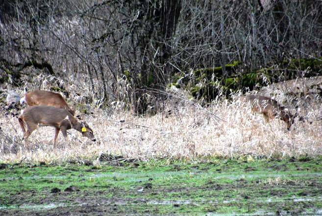 Ridgefield deer