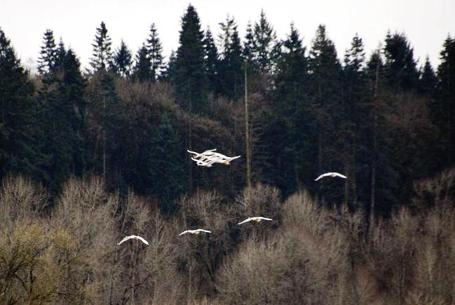 Ridgefield swans fly
