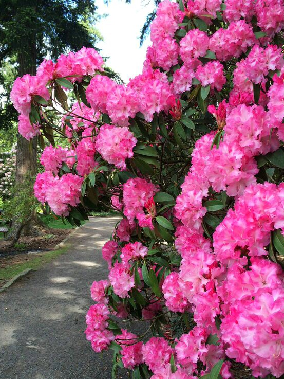 Rhododendron pink path