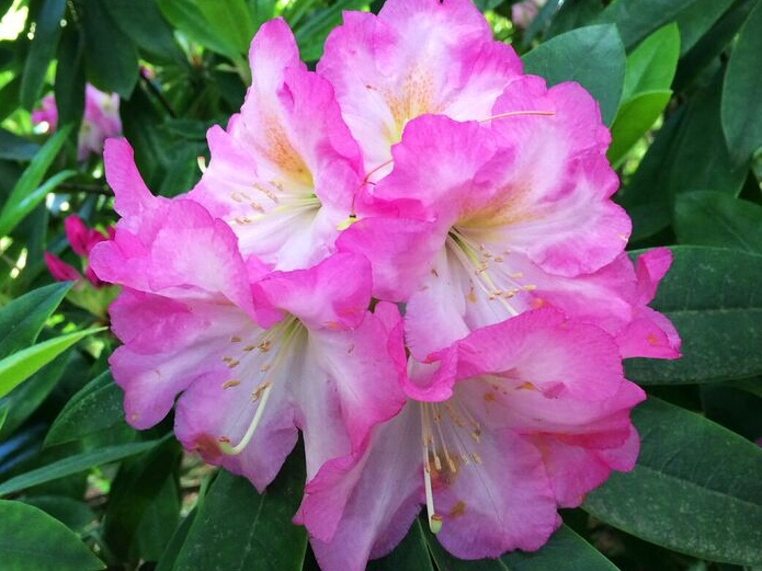 Rhododendron pink white