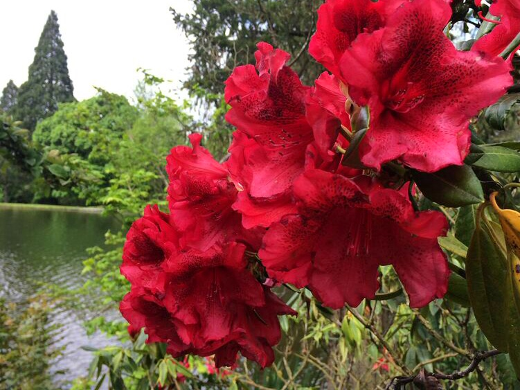 Rhododendron red by lake