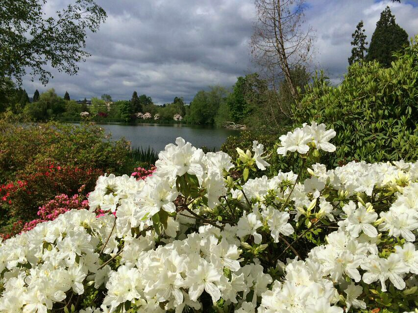 Rhododendron white by lake
