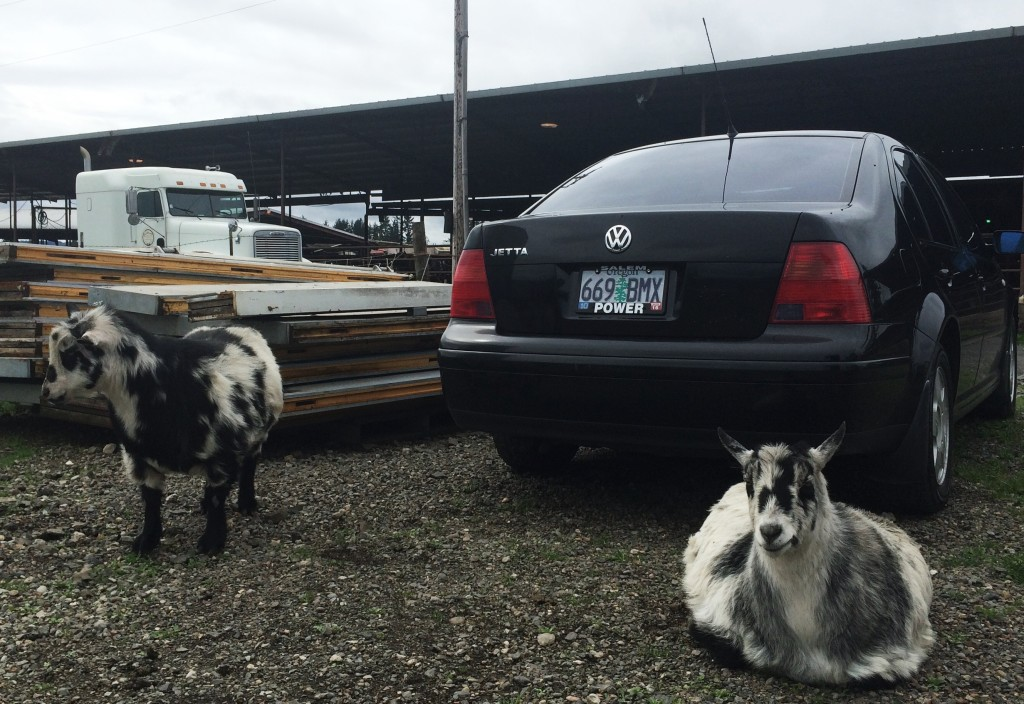 Willamette valley cheese goats