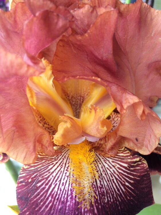 Iris garden peach purple