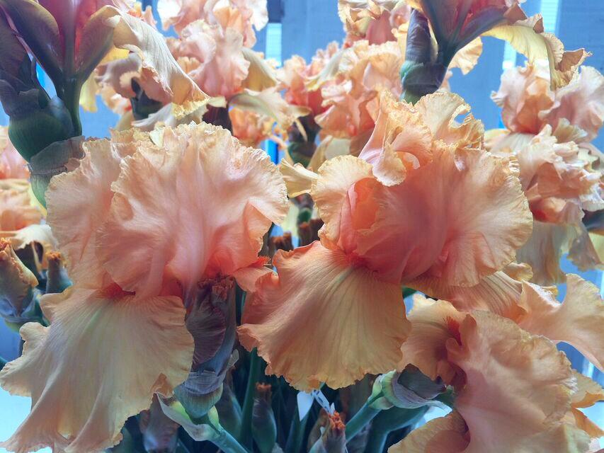 Iris garden peach