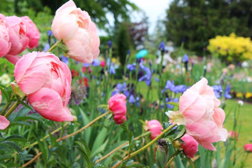 Iris garden peonies