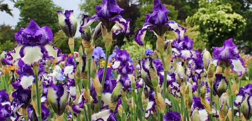 Iris garden purple bunch