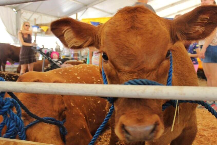 Clackamas Fair calf