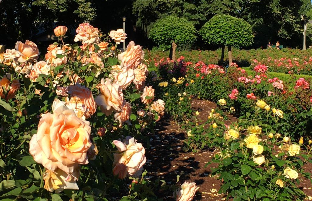 Peninsula Park Rose Garden peach rose
